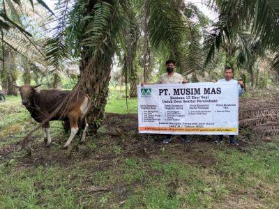 PT Musim Mas Menyerahkan Bantuan 13 Ekor Sapi Untuk Desa Sekitar